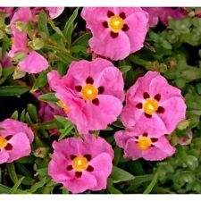 Cistus Pink Silk x 100 seeds Fairy Flower Seeds Hardy Shrub