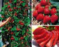 200pcs strawberry Climbing Red Strawberry four season fruits seeds Garden Beauty