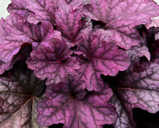 Heuchera, purpuglöckchen 'Berry Smoothie'