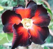 5 seeds Adenium,Black Fire, Arabicum, Desert Rose