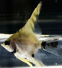 Medium Angel Live Tropical Fish 4-6cm *FROM TANK TO YOUR DOOR SAME DAY DELIVERY*