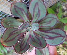 """Echeveria Nodulosa Painted Lady 3.5"""" pot succulent plant aeonium sempervivum"""