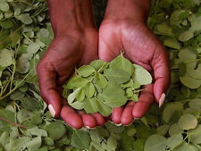 5 Graines  NEVERDIER - Moringa Oleifera - Arbre - Miracle Tree Fresh seeds Samen