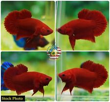 Live Betta Fish High Quality Halfmoon Plakat HMPK Super Red Chili- USA Seller