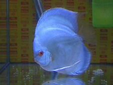 1 Blue Diamond Discus Fish - LIVE Peaceful freshwater fish!