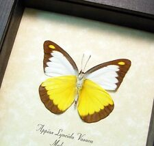 Real Framed Appias Lyncida Vasava Chocolate Albatross Verso Butterfly 8365