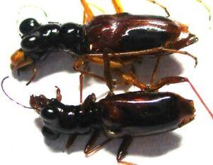 A009 Mi : AG : Cicindelidae: Therates fasciatus quadrimaculatus 2pcs. 11mm-14mm
