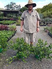"SALE GARDENIA FLORIDA $11 cheap  HEDGING 20cm 8"" pot PLANTS GOLD COAST"