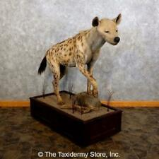 #18622 P| Spotted Hyena Life Size Taxidermy Mount - Safari