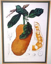 Fine Antique Botanical Fruit Engraving, Artocarpus Poliphema Pers, Framed