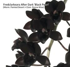 * Fredclarkeara After Dark 'Black Pearl' - Orchid Plant