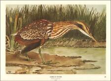 AMERICAN BITTERN BIRD, by Rex Brasher, large vintage print authentic 1967