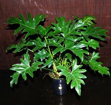 """Philodendron Selloum Large 6"""" Pot Easy Tropical Indoor/Outdoor Houseplant"""