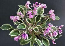 Hodss-Casandra NEW 2020 Blatt/ leaf African Violet Usambaraveilchen