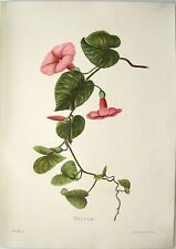 "Antique Hawaii Botanical Print: Hawaii Native Flower ""THE PILIKAI"": London, 1885"