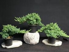 40 Juniper Pre Bonsai Tree