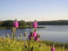 300+ Samen Dalea purpurea - Purple Prairie Clover