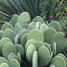 6 Spineless Prickly Pear Cactus Opuntia Cacanapa Pads - Easy 2 Grow! Ships FREE!