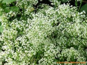 Hedge Bedstraw - Galium album - 2000 Seeds - Hardy Perennial - Wildflower