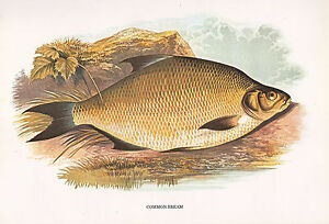 Vintage Facsímil Fish Estampado ~ Común Besugo ~ A F. Lydon