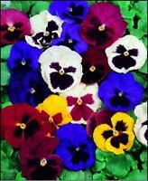 Pansy- Swiss Giant Mix- 50 Seeds- BOGO 50% off SALE