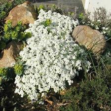 250 Rock Cress Seeds Cascading Snow Cap White Rock Cress Ground Cover
