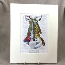 Vintage Medical Print Anatomical Bone Vertebrae Skeleton Nervous System
