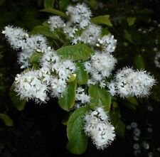 10 Semillas de Symplocos Paniculata (Baya Zafiro o Sapphire Berry)