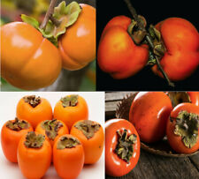 30Pcs Eastern Persimmon Tree Seeds Japanese Diospyros kaki Organic Tasty Winter
