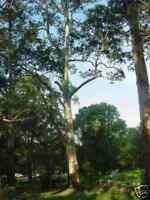 Sydney Blue Gum Seed Evergreen Native Majestic Tree  Mild Drought/Frost Tolerant