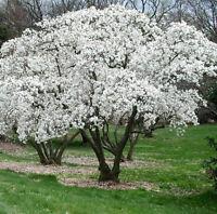 Star Magnolia- Magnolia stellata