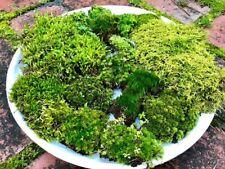 LIVE TERRARIUM SHEET MOSS Vivarium Bonsai Different Varieties Feather Woodland