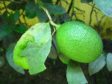 Live gandharaj lemon plant 1 feet hieght with poly pack,O-307