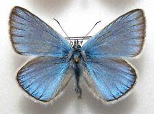 Polyommatus amandus male from PL (mounted)