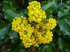 8 graines MAHONIA A FEUILLES DE HOUX(Mahonia Aquifolium)G382 SEEDS SAMEN SEMILLA