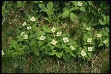 127037 Bunchberry Cornus Canadensis A4 Photo Print