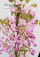 Blauregen-Wisteria-Glyzine venusta 'shova-beni' (Samtwisterie) 80 - 100 cm rosa