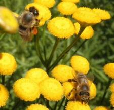18 000 graines tanaisie bio Tanaisie abeille fongicide anti puce anti tique 10 g