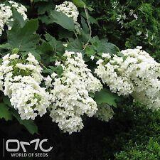 Eichenblättrige Hortensie Harmony 30-40cm Hydrangea quercifolia