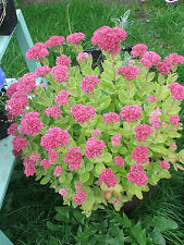 Sedum Autumn Joy Hardy perennial garden plant AUTUMN FLOWER - ROOTS WITH SHOOTS