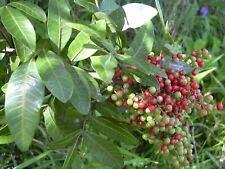 Schinus terebinthifolius - Brazilian Pepper Tree - 10 Seeds