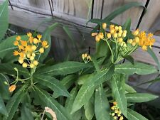 Tropical Yellow Milkweed - Asclepias curassavica 'Silky Gold' - 10+ seeds