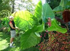 100PCs Giant Taro Elephant Ear Seeds Colocasia Heirloom Wow Viable Plants 🍃🍃🍃