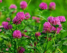 10.000+ Samen Rotklee - Wiesenklee - Trifolium pratense - Klee-Bienenweide-seeds