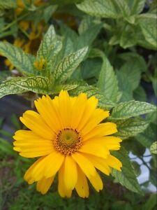 'Sunstruck'' (heliopsis) false sunflower Perennial flower seeds *Butterflies