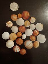 25 Bittersweet Seashells Various Sizes Orange & White Cocoa Beach Florida