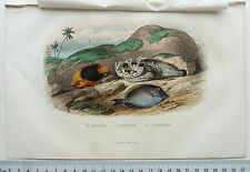 GRAVURE EDOUARD TRAVIES BEYER FURNE POISSONS TRICOLOR HORRIBLE CHIRURGIEN O233