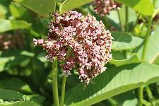 Echte Seidenpflanze Asclepias syriaca Heilpflanze Duft Samen VERSANDKOSTENFREI !
