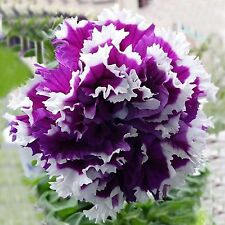 Beautiful Purple and White Petunia Seeds 80 SEEDS --BUY 4 ITEMS FREE SHIPPING