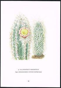 1960s Vintage Pilocereus Cephalocereus Cactus Flower Botanical Art Print